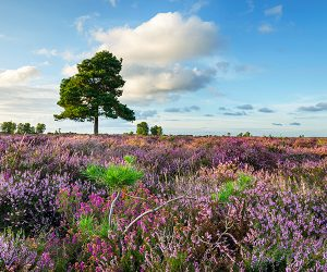 A field of lavender in the New Forest