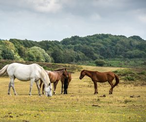 Horses graze in a field in the New Forest