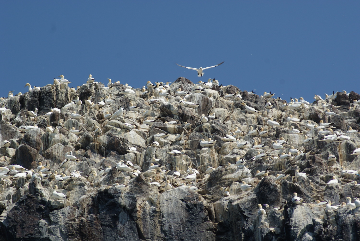 Gannets flying in North Berwick, Scotland