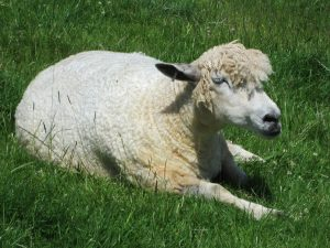 The Coltswold Lion - a sheep lying down