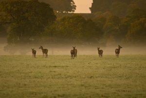 Deer roaming in the Great Park at Windsor Castle