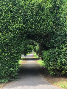Very overgrown Yew trees with a path running through them