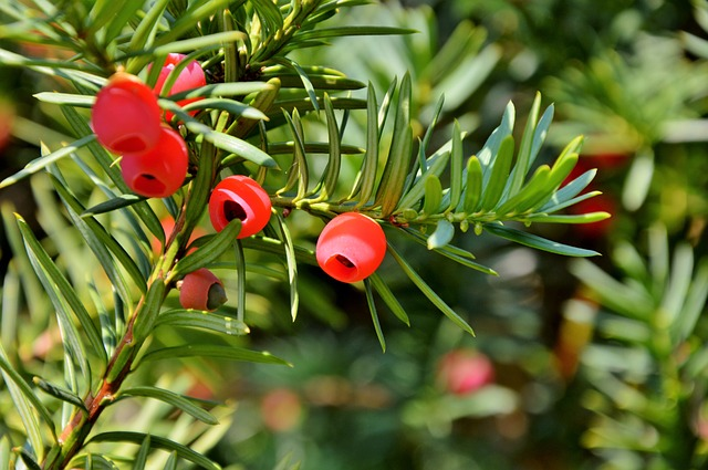 Yew tree detail